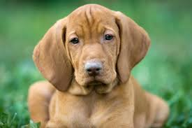 what is the best dog food for a vizsla