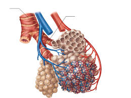 Anatomy Of The Heart And Its Functions How Does The Structure Of The Alveoli Relate To Its Function In