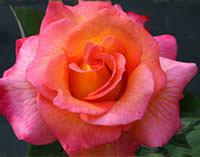 mardi gras roses gras roses