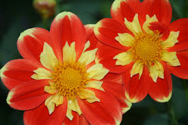Plants That Grow In Tropical Rainforests What Really Worked U2014 My Favorite New Plant This Year Is Dahlia