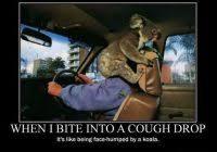 beautiful high koala meme funny koala bear photos 2011 funny