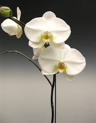 white orchid flower orchid plants white phalaenopsis orchidaceous orchid