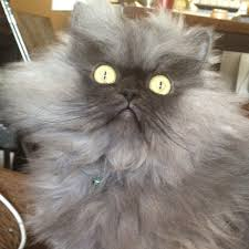 Colonel Meow Memes - colonel meow a fluffy grey cat who looks really angry