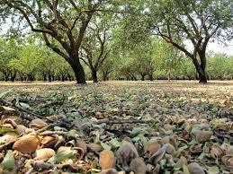 blue almonds california almond harvest report