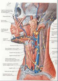 Anatomy Of Human Body Organs 150 Best Body Anatomy Images On Pinterest Muscle Anatomy