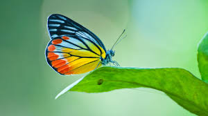 decoding a butterfly u0027s colours nus news
