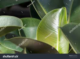 rubber figs big smooth green leaf stock photo 384540616 shutterstock