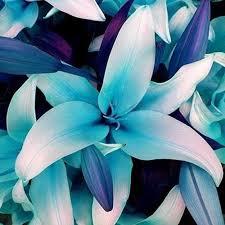 blue lilies 50pcs blue heart plant seeds potted bonsai lilium flower