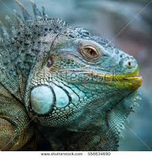 big iguana terrarium zoo stock photo 387142786 shutterstock