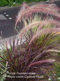 purple grass botanical name pennisetum setaceum rubrum
