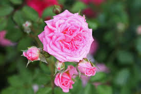 how to care for roses hgtv