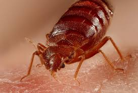 Killing Bed Bugs In Clothes Bed Bugs Love Your Dirty Laundry And This Has Helped Them Travel