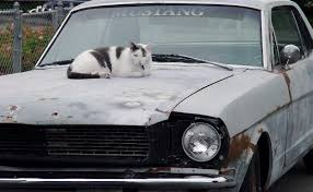 mustang cat cat mustang jpg