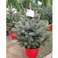 buy christmas trees online cheap blue christmas trees for sale