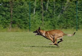 belgian shepherd lakenois free photo belgian shepherd malinois dog free image on pixabay