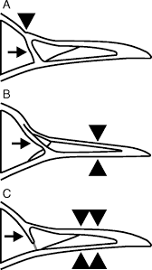 cranial kinesis in palaeognathous birds journal of experimental