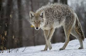 Colorado Wild Animals images The most dangerous colorado animals outthere colorado jpg