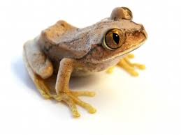big eye tree frog for sale reptiles for sale