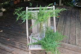 Fern Decor by Plumosus Fern 18 Stems Of Preserved Soft And Whispy Wedding