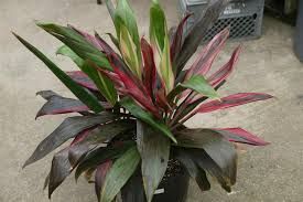 Indoor Tropical Plants For Sale - tropical plants