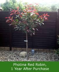 buy robin photinia tree free uk delivery free 3 year