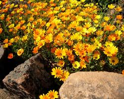 yellow daisy wallpapers daisy tag wallpapers lovely flowers white nice nature zen flower