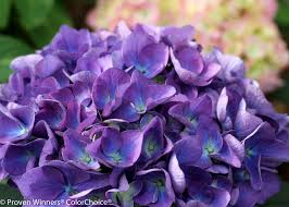purple hydrangea cityline bigleaf hydrangea hydrangea macrophylla proven