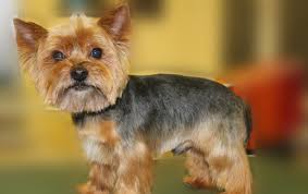 haircuts for yorkies yorkie haircuts for males and females 60 pictures yorkie life