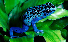 blue frog seating on leaf hd animal photo