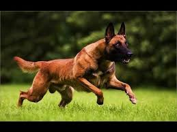 belgian sheepdog guard dog belgian shepherd dog malinois dog breed youtube