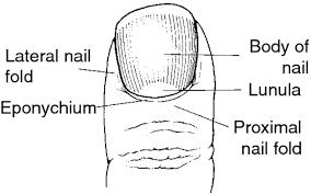 paronychia definition of paronychia by medical dictionary