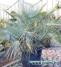 mediterranean fan palm tree chamaerops humilis var cerifera blue mediterranean fan palm in 60