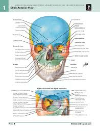 Human Anatomy Skull Bones Anatomy Organ Pictures Human Atlas Anatomy Top Collection