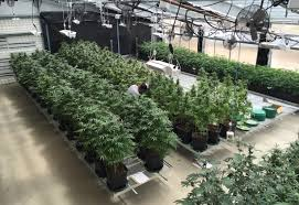 energy efficient cannabis greenhouses ceres greenhouse