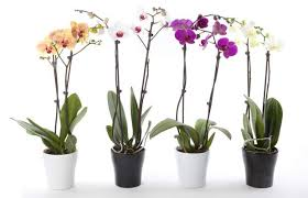 moth orchid moth orchid surprisingly easy to grow