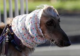 afghan hound grooming styles thousands of dogs arrive at birmingham u0027s nec for crufts