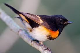 north carolina mountain birds american redstart