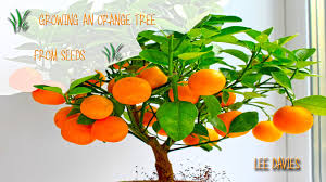 When Does A Lemon Tree Produce Fruit - how to grow an orange tree from seed youtube