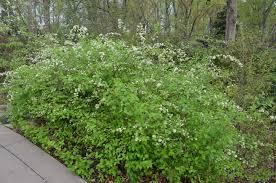 native plants of tennessee neviusia alabamensis hugh conlon tennessee smart yards native plants