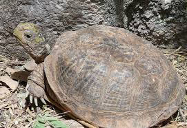 desert box turtle terrapene ornata luteola box turtles