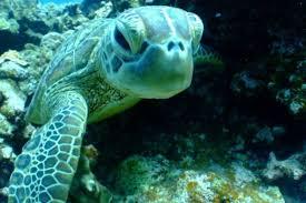 imagenes tortugas verdes las tortugas verdes de florida y méxico ya no están en peligro de