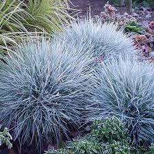 100pcs blue fescue grass seeds perennial hardy ornamental grass