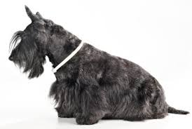 scottish yerrier haircuts scottish terriers what s good about em what s bad about em