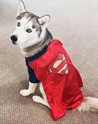 Halloween Costumes Husky Dog Husky Halloween Superwoman Daily Dose Cute