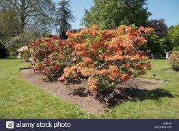 Royal Botanic Gardens Kew Richmond Surrey Tw9 3ab A Glo Rhododendron In The Azalea Garden Royal