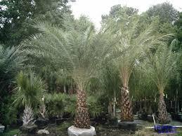 sylvester date palm tree palm tree information water fertilizer temperature freeze damage