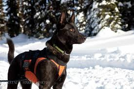 belgian shepherd dog club of canada working dogs at cher car kennels