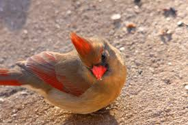 Oklahoma birds images Oklahoma backyard birds female cardinal since the weather flickr jpg