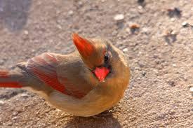 Oklahoma backyard birds female cardinal since the weather flickr
