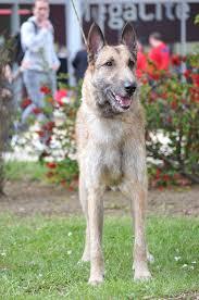 belgian shepherd malinois pronunciation laekenois belgian sheepdog belgian shepherd dog lakenois photo